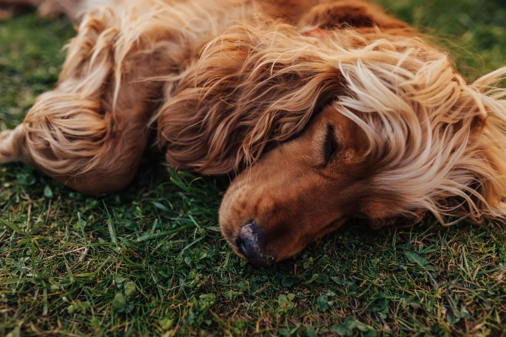 Cocker spaniel - charakterystyka i imiona dla psa